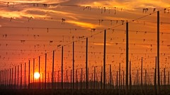 Hops Field Sunset 6700 C (jim.choate59) Tags: sunset hops field harvest autumn fall smoky mtangel silvertonoregon willamettevalley marioncounty jchoate farm agriculture rx100 on1pics