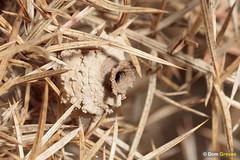 How to make a pot VIII (Dom Greves) Tags: autumn behaviour clay construction dorset eumenescoarctatus gorse heathpotterwasp heathland insect invertebrate nest nestpot purbeck uk wildlife