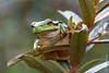 ©Mark Kras-Europese boomkikker-IMG_6423.jpg (markkras-fotografie) Tags: europeseboomkikker nederland nl amfibieen reptielenenamfibieen fauna