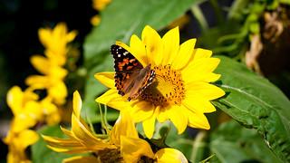 Papillon Belle-Dame, Belle-Dame Butterfly