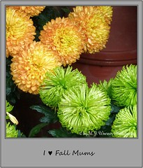 Chrysanthemum 25 (M.J.Woerner) Tags: november fallmums asteraceae chrysanths autumcolors postermums chrysanthemum autumflower