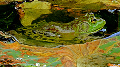 Bullfrog resting in between wild Lotus Petals (GerdaKettner) Tags: midwestnature illinoisnature illinoiswilderness midwestwildlife animale froga amphibians amphibious cookcountyforestpreserve pond lotuspetals bullfrogs americanbullfrog ranas pondlife