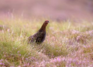 Red Grouse 2