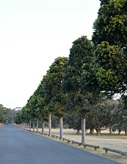 2017 Sydney: A Very Windy Spring Afternoon in Centennial Park #45 (dominotic) Tags: sydney nsw australia newsouthwales 2017 centennialpark publicpark tree green bluesky avenueoftrees nature springsunset