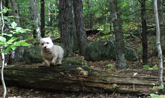 Jeter - 9/20/17 (myvreni) Tags: vermont summer nature outdoors animals dogs cairnterriers pets