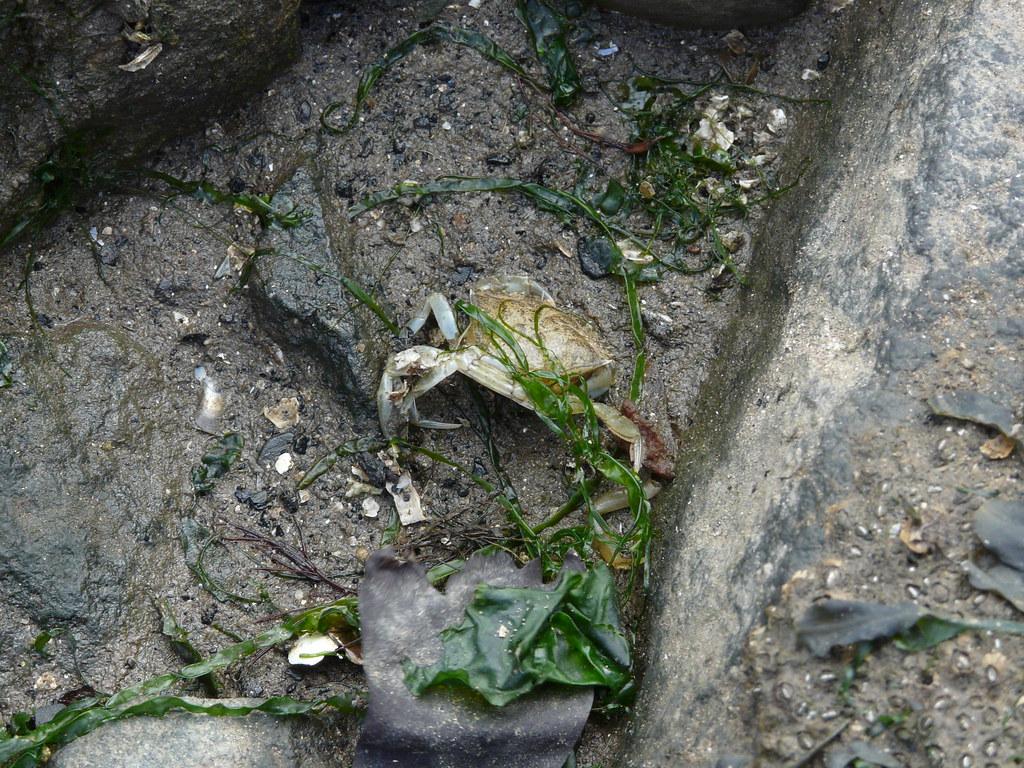 Dead Crab, Portobello Beach