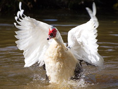 Muscovy Duck (mpb_17) Tags: birds duck