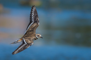 Killdeer show (3/3)