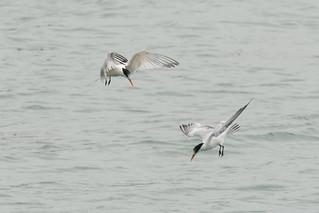 DSC_4753.jpg Elegant Terns, Moss Landing