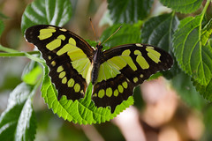 Malachite Butterfly (Siproeta stelenes) (Seventh Heaven Photography) Tags: malachite butterfly green siproetastelenes siproeta stelenes nymphalidae insect nikond3200 chester zoo cheshire england papillon