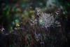 One of these Helios-mornings (look to see) Tags: bokeh spinneweb web sintmaartensheide beek bree belgium fall herfst 2017 helios40 85mm f1 5