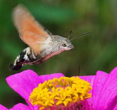Happy Birthday (mishko2007) Tags: macroglossumstellatarum hummingbirdhawkmoth korea 105mmf28