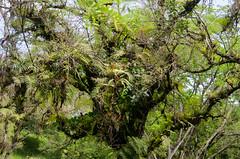 A epiphytes paradise (Mabelín Santos) Tags: epiphytes epífitas nature naturaleza tillandsias insitushot tyllandsiasp fern helechos epiphyticfern bromeliad panama chiriqui chiriquilowlands lowlandspanama centralamerica tropicallandscape árbol pastureland