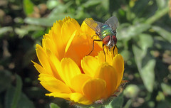 Walking the parapet (TJ Gehling) Tags: insect diptera fly calliphoridae blowfly bottlefly greenbottlefly lucilia plant flower asterales asteraceae calendula communitygarden fairmontpark centennialpark elcerrito