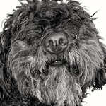 Puli dog thumbnail