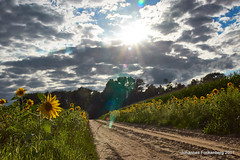 Summertime (grafenhans) Tags: sony alpha 68 a68 ilce tamron 281750 gegenlicht grauverlaufsfilter feld sonne sonnenstrahlen sonnenblumen himmel wolken grafenwald bottrop nrw