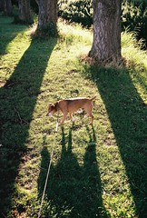 Jake in the Evening (cycle.nut66) Tags: olympus om2 zuiko 3528 fuji superia 4400 film analogue scan dog terrier patterdale grass trees sunlight evening light