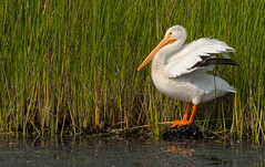 American White Pelican (Pelecanus erythrorhynchos) - Richmond, BC (bcbirdergirl) Tags: pelecanuserythrorhynchos americanwhitepelican nonbreedingplumage ionaregionalpark northouterpond richmond bc pelican