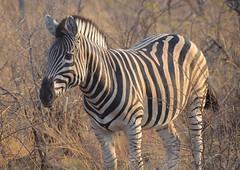 Sudáfrica - Parque Nacional de Kruger (eduiturri) Tags: sudáfrica parquenacionaldekruger krugernationalpark