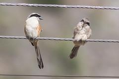 Long-tailed Shrike (steve happ) Tags: himachalpradesh himalayas india keylong laniusschach longtailedshrike