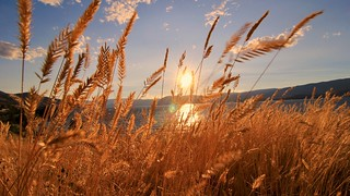 Growth Nature Field Tranquil Scene Plant Beauty In Nature Cereal Plant Tranquility Sunset Sky Outdoors Crop  Scenics No People Agriculture Sunlight Wheat Rural Scene Day Landscape Beautifulbc Kelowna Kelowna Okanaganlake Okanagan Valley at Cedar Creek Par