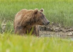Relaxed Bear (endrunner) Tags: dsc0024 wildlife mammal animal bear grizzly naturebynikon