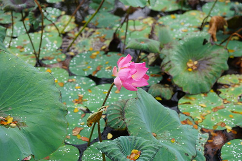 One single perfect lotus flower at the Ubud Water Palace