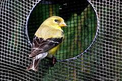 American Goldfinch, Female (Anne Ahearne) Tags: goldfinch yellow bird birds finch nature wildlife animal animals wild