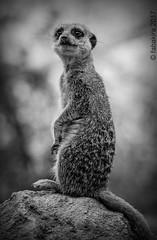 "Suricate, ""la sentinelle du désert"" (fabakira) Tags: fabakira fabakiraphotography fabakiraphotography2017 nikon d7000 nikkor nikkor200500 suricate mammifère wildlife zooparcdebeauval beauval loiretcher monochrome noirblanc nb bwworldwithnikon regard nikonphotography nikonphotographers nikonartists naturelovers fotogaphia"