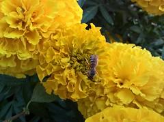 WP_20170721_11_47_53_Pro (vale 83) Tags: bee microsoft lumia 550 friends macrodreams wpphoto wearejuxt flickrcolour colourartaward coloursplosion thebestyellow autofocus beautifulexpression