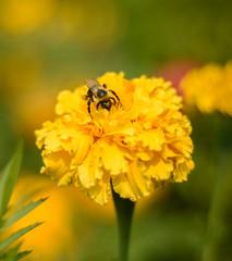 Honey Bees and Summer (Katrina Wright) Tags: yellow flower bee pollen summer dof marigold