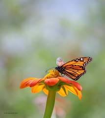 Feasting (gerilynns) Tags: monarch butterflies orange flowers blooms insect bug maine