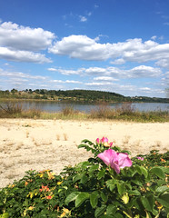 Flowers along the way (roomman) Tags: 2017 poland świętokrzyskie voivodeship starachowice hike hiking lake zalew brodzki dam artificial flora flower pink orange sand sandy beach