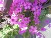 017 (en-ri) Tags: fiorellini rosa little flowers sony sonysti foglie leaves