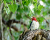 Red Headed Woodpecker (corkemup52) Tags: woodpecker wildlife redheadedwoodpecker nebraska nature nikond7000 nikon18200mm birds outdoors