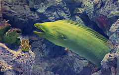 Green moray (Linda DV) Tags: lindadevolder 2017 canaryislands canarias spain europe geotagged nature fauna zoo animalpark samsung smartphone galaxy note4 ribbet