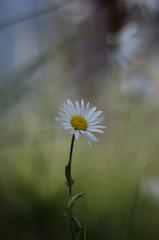 a daisy (Stefano Rugolo) Tags: smcpentaxm50mmf17 daisy sweden hälsingland bokeh flower depthoffield verticalformat pentax k5 stefanorugolo