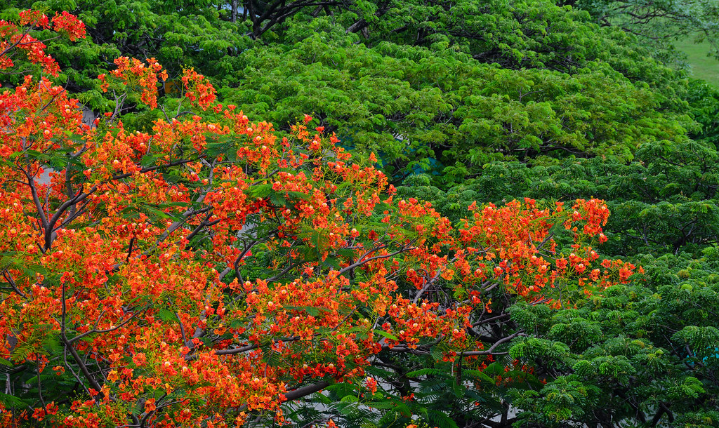 The world 39 s best photos of flame and regia flickr hive mind - Decorative trees with red leaves amazing contrasts ...