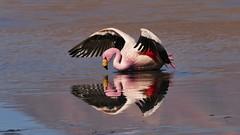 wie seh ich aus? (marionkaminski) Tags: bolivien bolivia südamerika southamerica vogel bird oiseau pájaro flamingo flamenco tier animal wasser langune lago lagunacanapa panasonic lumix fz1000 lagune see lake