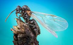 Flying Ant (Lasius niger) (brianjobson) Tags: flyingant ant eyes wings hairy macro