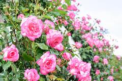 SYS_3911 (Daegeon Shin) Tags: nikon d750 rose rosa flower flor dof tamron tamron45mmf18vc 45mmf18 bokeh corea korea 니콘 탐론 장미 꽃 심도 보케 빛망울