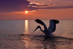 Sunrise (MoGoutz) Tags: sunrise lake kerkini dalmatian pelican nikon d500 aqua water bird