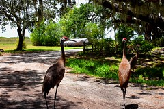 USA Trip 2017 (jaffa600) Tags: unitedstatesofamerica unitedstates usa america stateofflorida florida miami cityofmiami bird birds floridakeys thekeys keywest keylargo