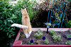 Ziggy Cat - Box Funny Business 6-1-17 01 (anothertom) Tags: cats ziggycat yard outside gardenbox catinabox observing watchtower onthelookout yardpatrol funnycat flowerbox tail sonyrx100ii 2017