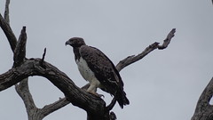 Martial Eagle (Rckr88) Tags: birds prey birdsofprey bird birdofprey animals animal martial eagle martialmartial eagleeaglesmpumalanganatureoutdoorstraveltreestreekruger national parksouth africa kruger park south