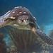 Bonaire 08.08.2017 - 057 loggerhead turtle