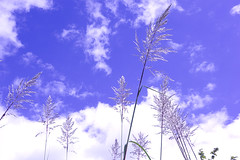 Tall Grass Against the Sky (joeldinda) Tags: 1v2 nikon1v2 v2 2014 michigan kalamazoo autumn fall colors cloud 2530 september tallgrass nikon sky onthisdate 260366