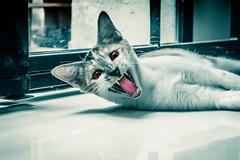 """U WOKE ME UP!!! HISSSS!"" 😾 (stratman² (busy-taking care of Joey)) Tags: canonphotography powershotg7xmarkii cat kitten katze chat neko flickrelite catmoment scarycat fangs vampirecat internationalcatday iso1600 kittysuperstar kittyschoice kittenmagazine notmycat"