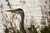 No hiding place......... (Jay Bees Pics) Tags: greyheron portrait reeds nature poolsbrookcountrypark staveley chesterfield derbyshire 2017 ngc alittlebeauty magicunicornverybest npc