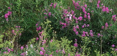 Wild Sweet Peas (merripat) Tags: sweetpeas perennialsweetpeas wild mcintyregulch lakewood colorado lakewoodcolorado flowers lathyruslatifolius